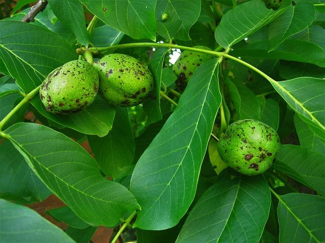 vlašské ořechy na ořešáku