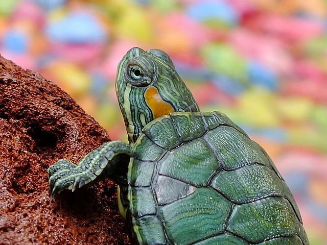 Želva vodní